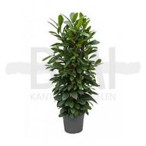 plant Ficus